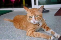 Thailändsk katt på semester Arkivfoton