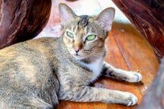 Thailändsk katt på trägolv och suddighetsbakgrund Arkivbild
