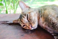 Thailändsk katt på trägolv och suddighetsbakgrund Fotografering för Bildbyråer