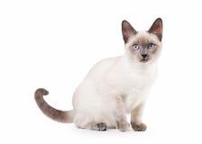 Thailändsk katt på vit bakgrund royaltyfria bilder