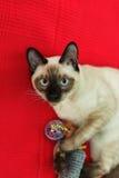 Thailändsk katt som spelar med en leksak på röd bakgrund Ha gyckel med husdjuret Royaltyfri Foto