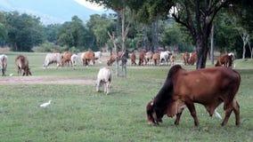 Thailändsk ko som äter gräs på fält arkivfilmer