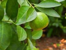 Thailändsk limefrukt Royaltyfri Fotografi
