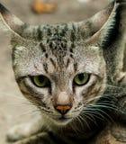 Thailändsk lokal katt Arkivbild
