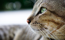 Thailändsk lokal katt Arkivfoto