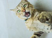 Thailändsk lokal katt Arkivfoton