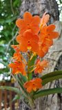 Thailändsk orange orkidé Fotografering för Bildbyråer