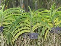Thailändsk orkidé i lantgården Arkivbilder