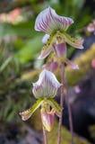 Thailändsk orkidé (paphiopedilumen Callosum) Royaltyfri Foto