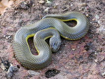 Thailändsk orm Royaltyfri Fotografi