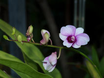 Thailändsk purpur blomma Arkivfoto