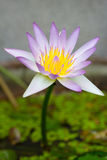 Thailändsk purpurfärgad lotusblomma Arkivfoton