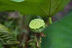 Thailändsk röd lotusblomma när inga sidor royaltyfri bild