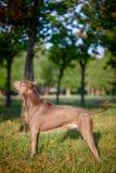 Thailändsk ridgebackhund utomhus Royaltyfri Fotografi