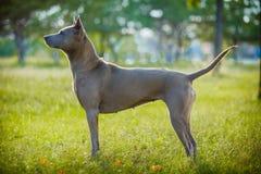 Thailändsk ridgebackhund utomhus Arkivbilder