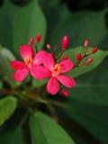 Thailändsk rosa färgblomma Arkivbilder