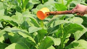 Thailändsk satt insekticid och gödningsmedel i tobakväxt lager videofilmer