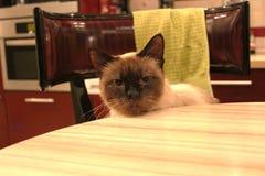Thailändsk siamese katt royaltyfria foton