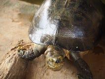 Thailändsk sköldpadda i dammet Arkivfoton