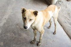 Thailändsk smutsig hund Royaltyfri Fotografi