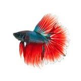 Thailändsk stridighetfisk härligt färga Arkivfoton