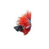 Thailändsk stridighetfisk härligt färga Fotografering för Bildbyråer