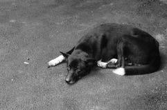 Thailändsk svart hund Royaltyfri Fotografi