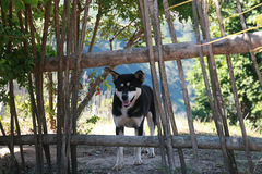Thailändsk svart hund Royaltyfria Bilder