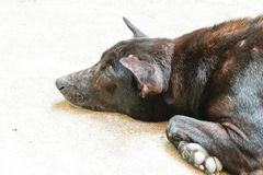 Thailändsk svart hund Arkivfoto