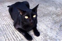 Thailändsk svart katt med gula ögon Royaltyfria Foton