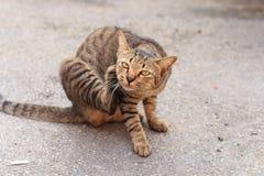 Thailändsk tigervilsekommet djurkatt Arkivbild