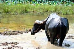Thailändsk vattenbuffel Arkivbild