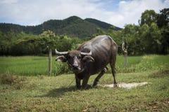 Thailändsk vattenbuffel som spelar i en pöl Fotografering för Bildbyråer