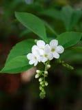 Thailändsk vit blomma Arkivbilder