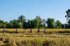 Thailändska bönder arbetar i risfält fotografering för bildbyråer
