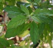 Thailändska Basil Plant Royaltyfria Foton