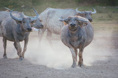 Thailändska bufflar Royaltyfri Fotografi