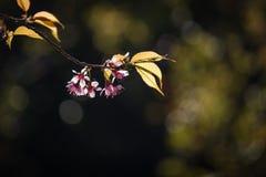 Thailändska Cherry Blossom på Doi Inthanon, Chiangmai, Cherry Blossom nolla Arkivbilder