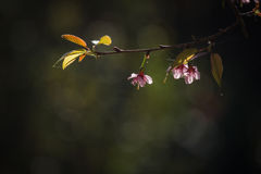 Thailändska Cherry Blossom på Doi Inthanon, Chiangmai, Cherry Blossom nolla Royaltyfri Fotografi