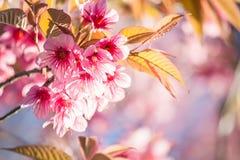 Thailändska Cherry Blossom på Doi Inthanon, Chiangmai, Cherry Blossom nolla Arkivbild