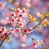 Thailändska Cherry Blossom på Doi Inthanon, Chiangmai, Cherry Blossom nolla Fotografering för Bildbyråer