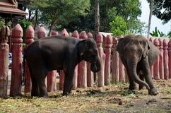 Thailändska elefanter som äter mat royaltyfri fotografi