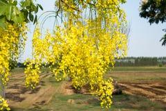 Thailändska guld- blommor Cassia Fistula Gul bukett Arkivbild