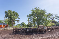 Thailändska kor som vilar i ett fält under träd på sydliga Thailand Arkivbild