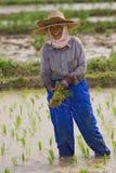 Thailändska kvinnor som arbetar i risfältet Royaltyfri Fotografi