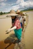 Thailändska kvinnor som arbetar i risfältet Royaltyfria Bilder