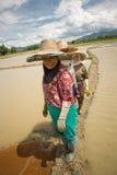 Thailändska kvinnor som arbetar i risfältet Arkivfoton