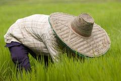 Thailändska kvinnor som arbetar i risfältet Royaltyfri Foto