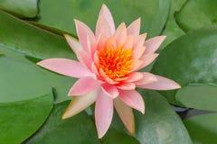 Thailändska Lotus Flower - flora Royaltyfri Fotografi