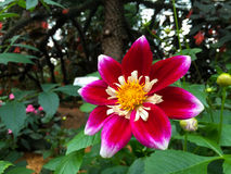 Thailändska rosa färgblommor Royaltyfri Foto